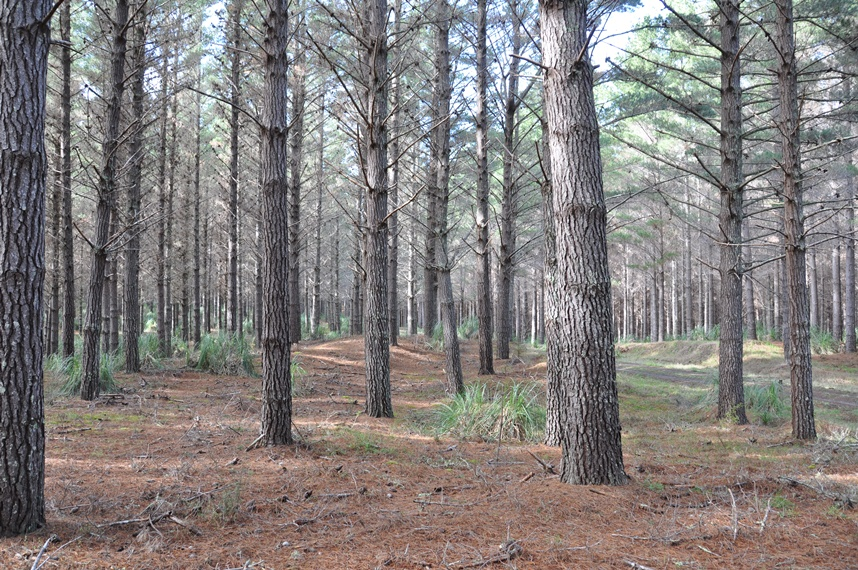 Greenheart group for Mature pine trees